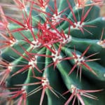 red barrel cactus